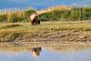 Boar Brown_Bears_August_2020_Katmai_Alaska_0016