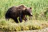 Boar Brown_Bears_August_2020_Katmai_Alaska_0009