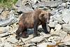 Boar Brown_Bears_August_2020_Katmai_Alaska_0010