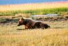 Boar Brown_Bears_August_2020_Katmai_Alaska_0014