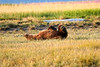 Boar Brown_Bears_August_2020_Katmai_Alaska_0012