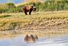 Boar Brown_Bears_August_2020_Katmai_Alaska_0017
