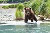 Boar Brown_Bears_August_2020_Katmai_Alaska_0002