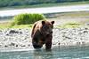Boar Brown_Bears_August_2020_Katmai_Alaska_0001