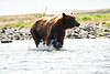 Boar Brown_Bears_August_2020_Katmai_Alaska_0008