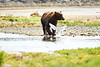 Boar Brown_Bears_August_2020_Katmai_Alaska_0006