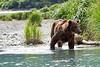 Boar Brown_Bears_August_2020_Katmai_Alaska_0003