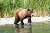 Boar Brown_Bears_August_2020_Katmai_Alaska_0005