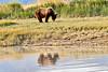 Boar Brown_Bears_August_2020_Katmai_Alaska_0018