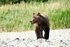 Boar Brown_Bears_August_2020_Katmai_Alaska_0004