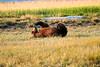 Boar Brown_Bears_August_2020_Katmai_Alaska_0013