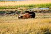 Boar Brown_Bears_August_2020_Katmai_Alaska_0011