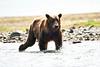 Boar Brown_Bears_August_2020_Katmai_Alaska_0007