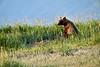 Boar Brown_Bears_August_2020_Katmai_Alaska_0020