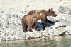 Brown_Bear_Cubs_Geographic_Harbor_August_2020_Katmai_Alaska_0006