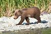 Brown_Bear_Cubs_Geographic_Harbor_August_2020_Katmai_Alaska_0012