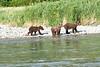 Brown_Bear_Cubs_Geographic_Harbor_August_2020_Katmai_Alaska_0010