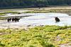 Brown_Bear_Cubs_Geographic_Harbor_August_2020_Katmai_Alaska_0001