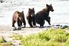 Brown_Bear_Cubs_Geographic_Harbor_August_2020_Katmai_Alaska_0003