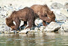 Brown_Bear_Cubs_Geographic_Harbor_August_2020_Katmai_Alaska_0017