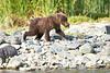 Brown_Bear_Cubs_Geographic_Harbor_August_2020_Katmai_Alaska_0014