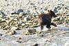 Brown_Bear_Cubs_Geographic_Harbor_August_2020_Katmai_Alaska_0005