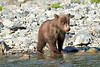Brown_Bear_Cubs_Geographic_Harbor_August_2020_Katmai_Alaska_0009