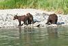 Brown_Bear_Cubs_Geographic_Harbor_August_2020_Katmai_Alaska_0018