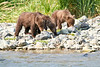 Brown_Bear_Cubs_Geographic_Harbor_August_2020_Katmai_Alaska_0013