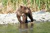 Brown_Bear_Cubs_Geographic_Harbor_August_2020_Katmai_Alaska_0011