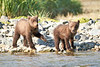 Brown_Bear_Cubs_Geographic_Harbor_August_2020_Katmai_Alaska_0007