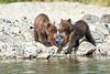 Brown_Bear_Cubs_Geographic_Harbor_August_2020_Katmai_Alaska_0016
