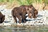 Brown_Bear_Cubs_Geographic_Harbor_August_2020_Katmai_Alaska_0020
