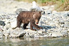 Brown_Bear_Cubs_Geographic_Harbor_August_2020_Katmai_Alaska_0015