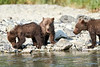 Brown_Bear_Cubs_Geographic_Harbor_August_2020_Katmai_Alaska_0019