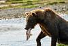 Brown_Bear_Catching_Fish_August_2020_Katmai_Alaska_0018