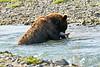 Brown_Bear_Catching_Fish_August_2020_Katmai_Alaska_0013