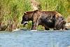 Brown_Bear_Catching_Fish_August_2020_Katmai_Alaska_0007
