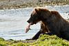 Brown_Bear_Catching_Fish_August_2020_Katmai_Alaska_0017
