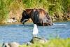 Brown_Bear_Catching_Fish_August_2020_Katmai_Alaska_0005