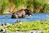 Brown_Bear_Catching_Fish_August_2020_Katmai_Alaska_0001