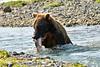 Brown_Bear_Catching_Fish_August_2020_Katmai_Alaska_0015