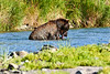 Brown_Bear_Catching_Fish_August_2020_Katmai_Alaska_0003