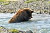 Brown_Bear_Catching_Fish_August_2020_Katmai_Alaska_0012