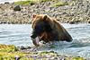 Brown_Bear_Catching_Fish_August_2020_Katmai_Alaska_0016