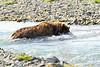 Brown_Bear_Catching_Fish_August_2020_Katmai_Alaska_0011