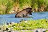 Brown_Bear_Catching_Fish_August_2020_Katmai_Alaska_0004