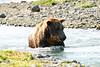 Brown_Bear_Catching_Fish_August_2020_Katmai_Alaska_0010