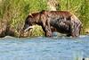 Brown_Bear_Catching_Fish_August_2020_Katmai_Alaska_0008