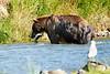Brown_Bear_Catching_Fish_August_2020_Katmai_Alaska_0006